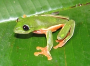 The Sierra Caral Protected Area will stengthen protection of many rare and endemic amphibians